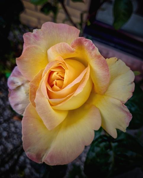 Rose from the Garden by Umberto_V