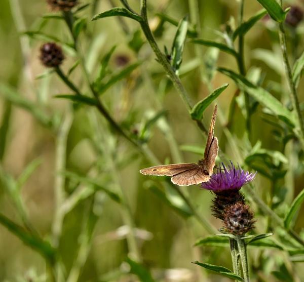 Meadow Brown by JJGEE