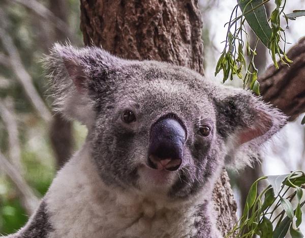 Koala Up Close by Wireworkzzz