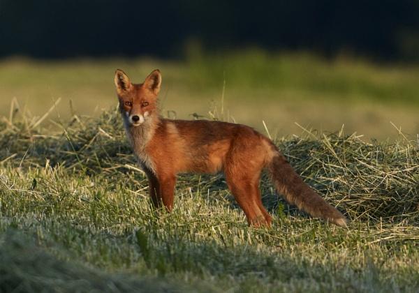 Fox in Röylä 2 by hannukon
