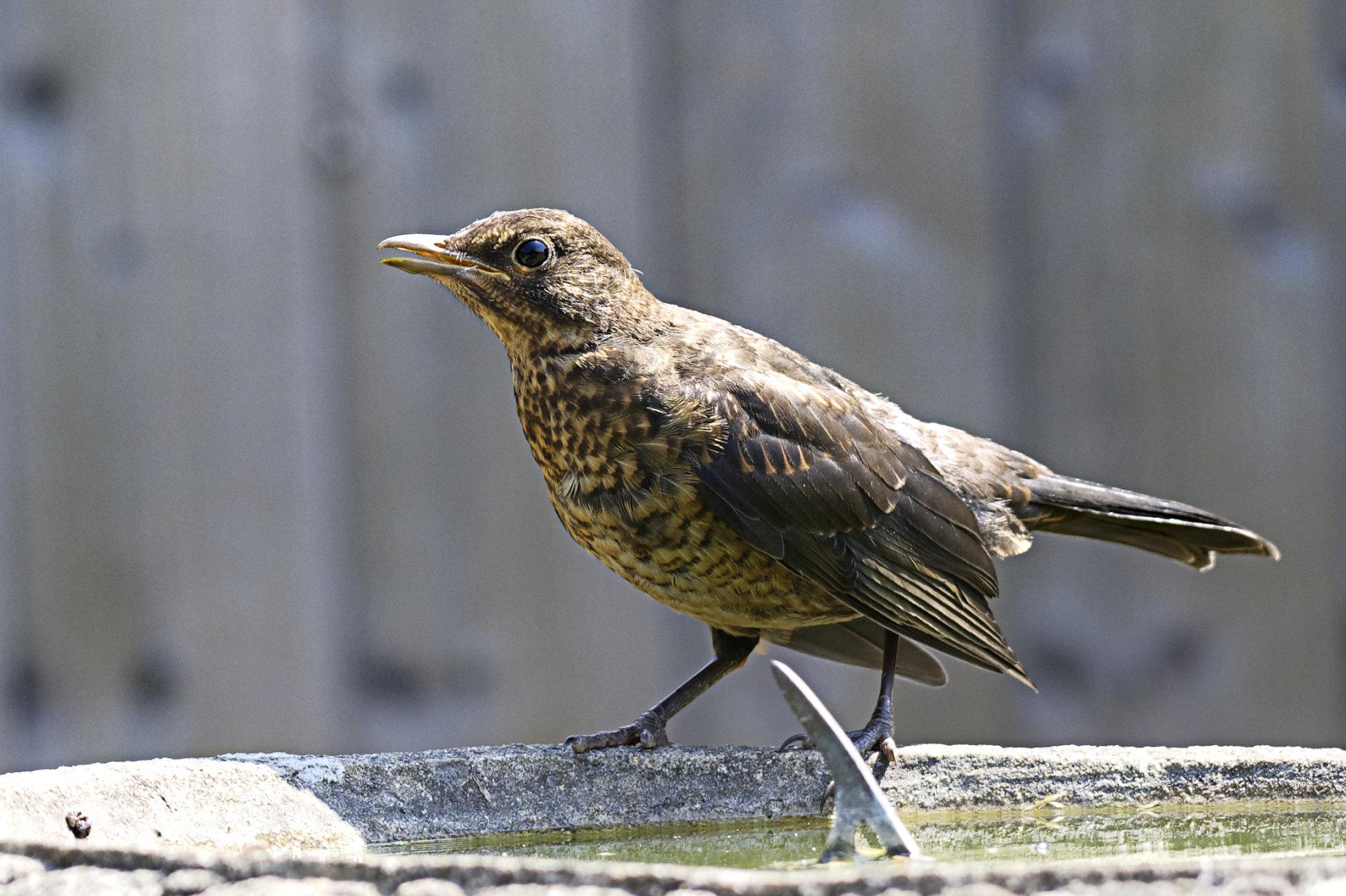 Young Blackbird on our birdbath.