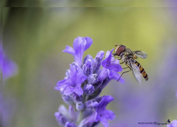 Hover fly on some lavender by 2008