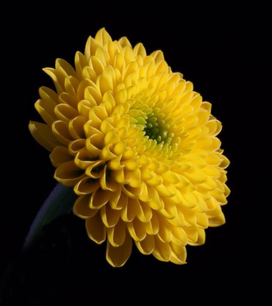 Chrysanthemum by loves2travel