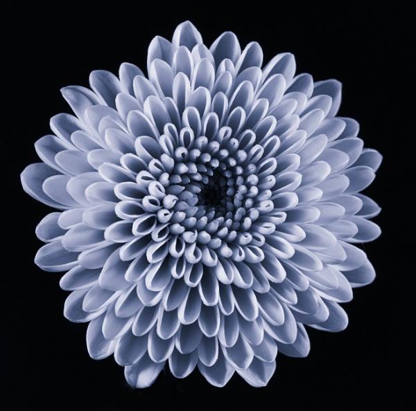 Silvered Chrythanemum by loves2travel