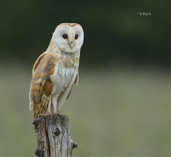 Barn Owl, wild n free by KBan
