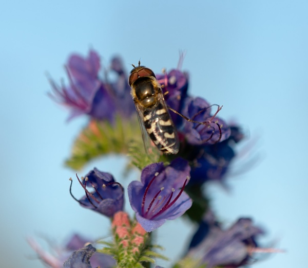 Hoverfly on Viper\'s Bugloss by lagomorphhunter
