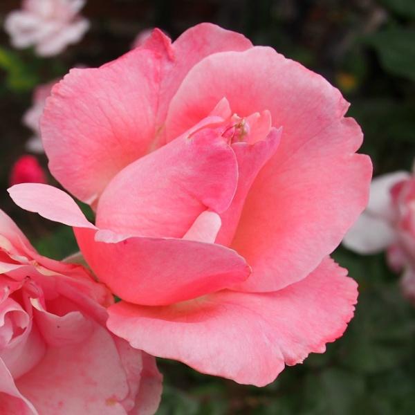 Pink Lady Rose by WestCamera