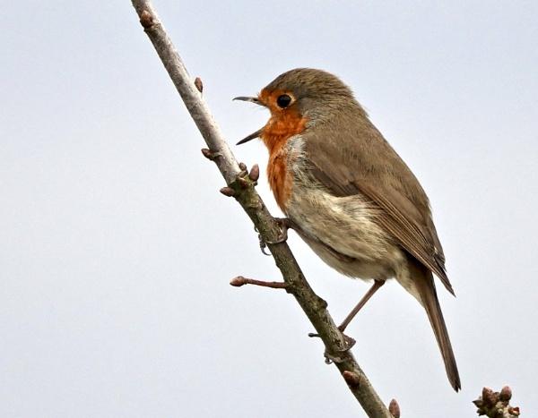 Singing Robin. by Debmercury