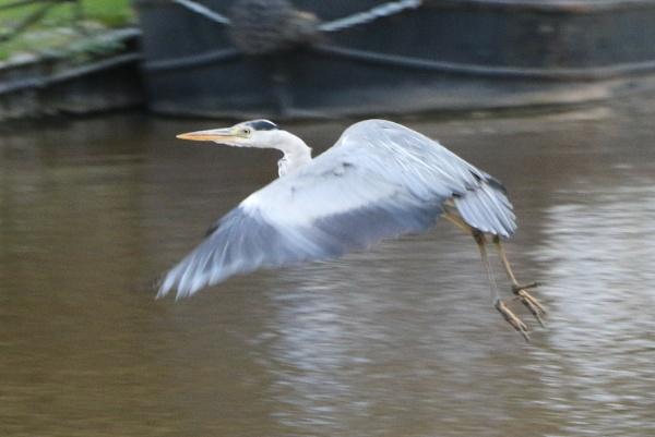 Heron in flight by Robal