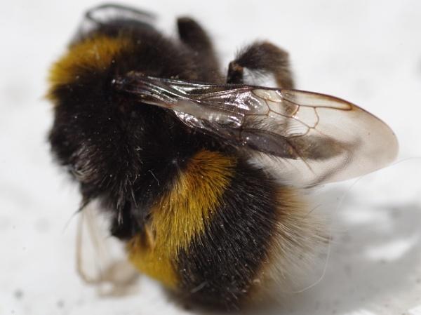 Bee (Deceased) by Kako