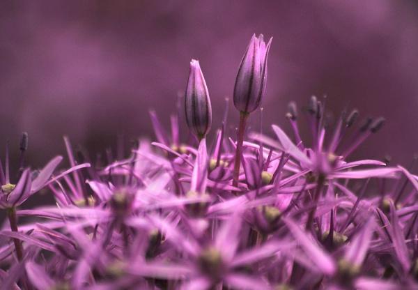 Allium by viscostatic