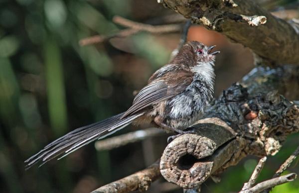 Sunbathing long-tailed tit by oldgreyheron