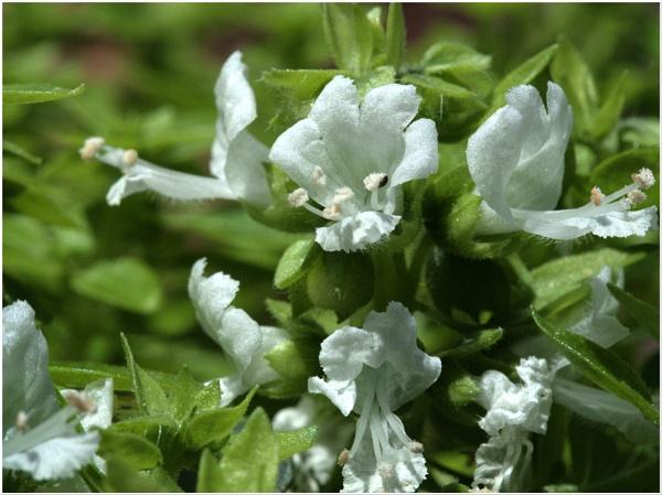 "\"" Greek Basil\'s Miniature Flower \"" by badgerwil70"