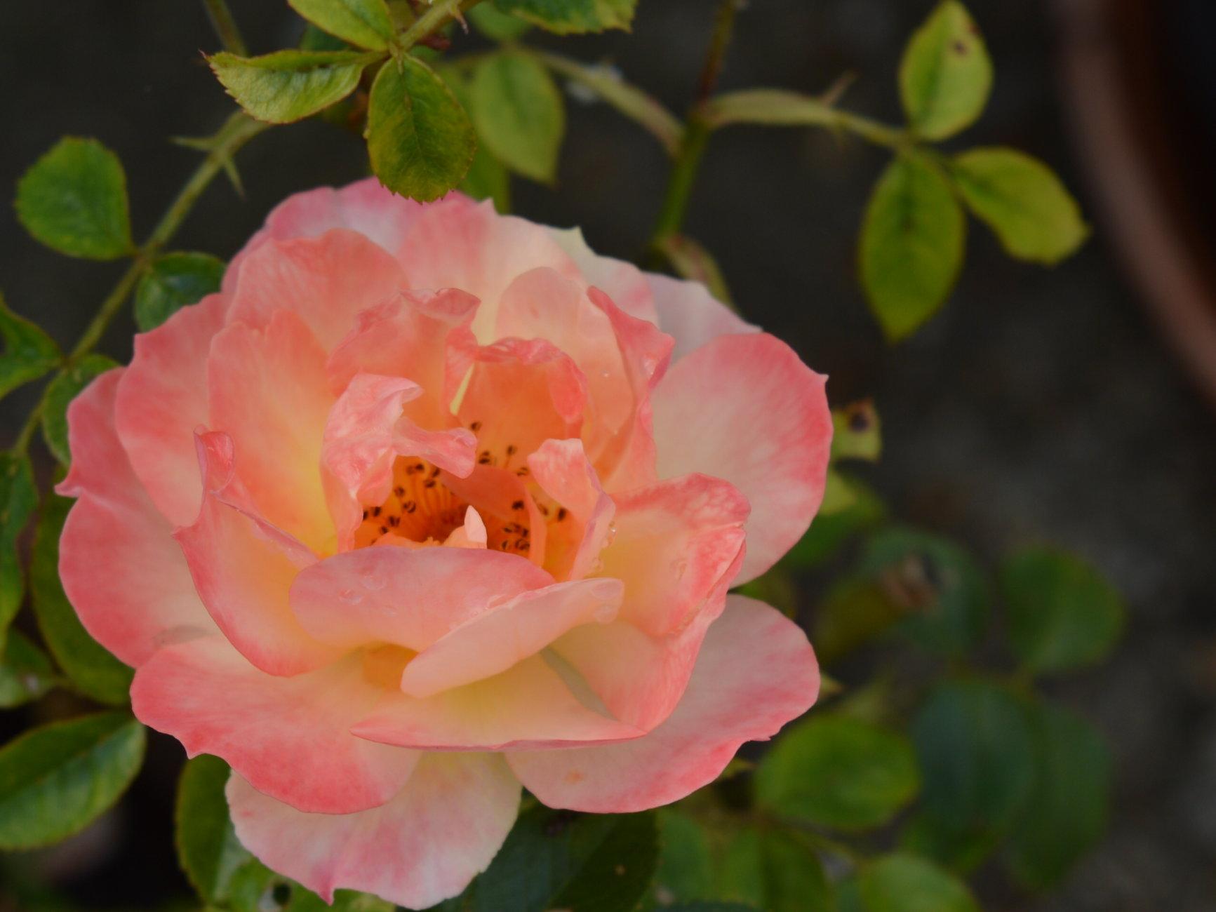 TRI-COLOURED ROSE