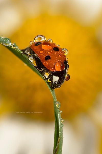 Ladybird by SurreyHillsMan