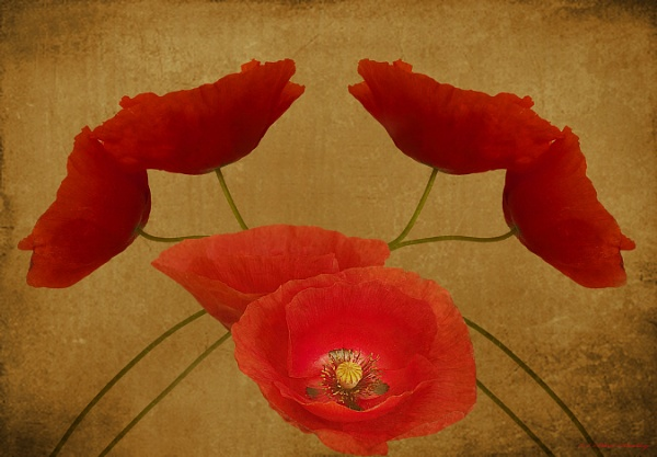 Poppies ll by mex