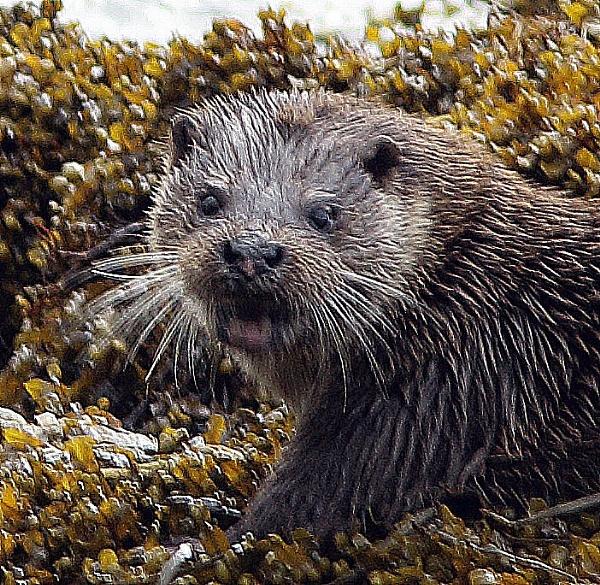 Mull Otter by ukdrifter