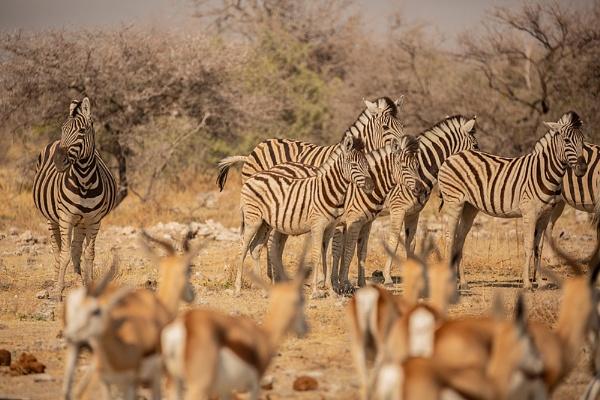Hartmans Zebra and Springbok by rontear