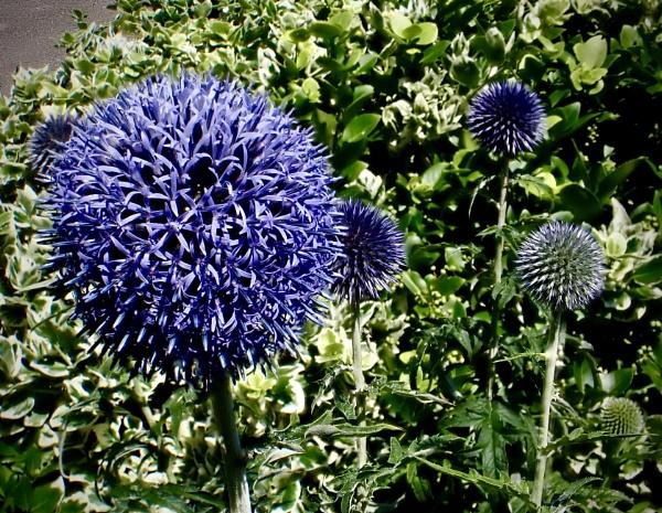 Allium by nclark