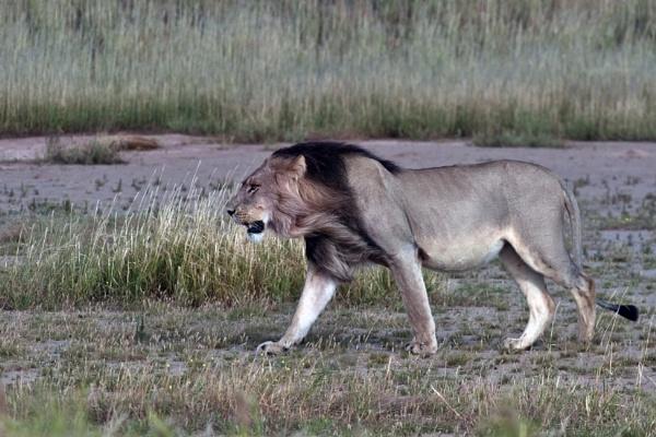 Kalahari Lion by DennisT