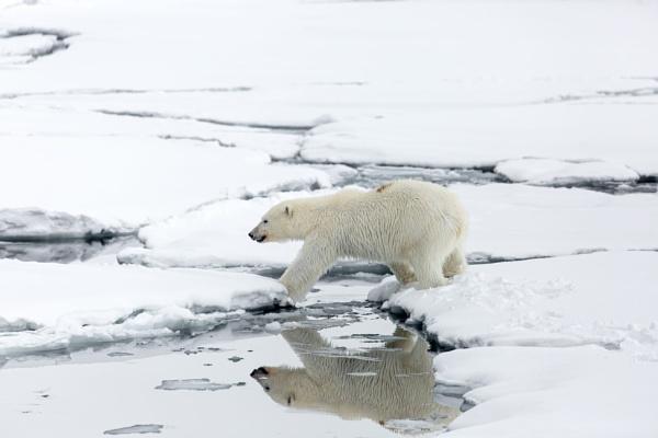 Polar Bear (Ursus maritimus) by Ray_Seagrove