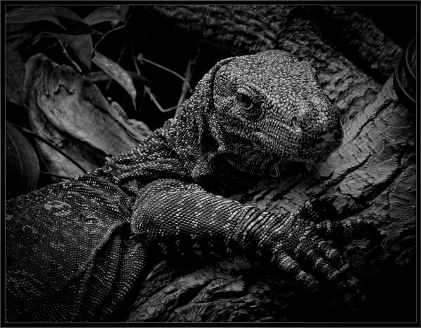Monitor Lizard (2) by PhilT2