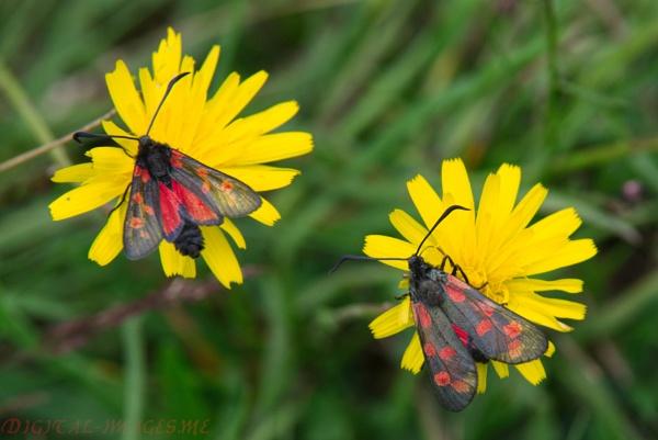 Burnet Moths by Alan_Baseley