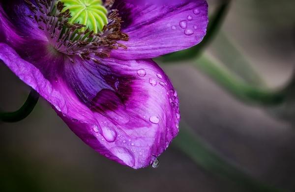 Purple Poppy Rain Drop by Pete2453