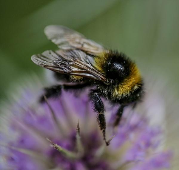 Thistle Bee by mammarazzi