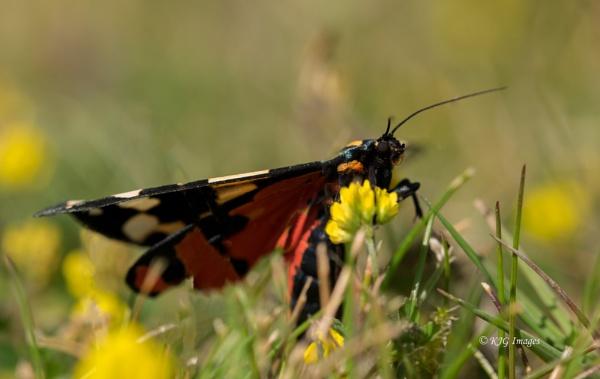 Scarlet Tiger Moth (Callimorpha dominula) by kaz1