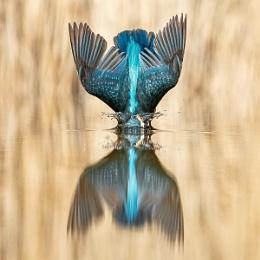 Kingfisher On Impact