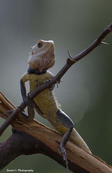 Oriental Garden Lizard by swami1969