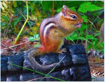 A Handsome Chipmunk  (best viewed large)