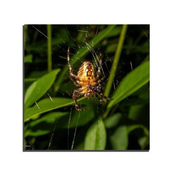 Breakfast (garden spider)