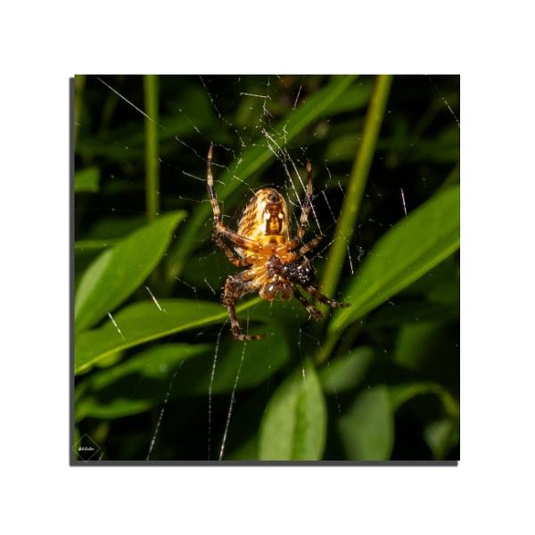 Breakfast (garden spider) by mohikan22