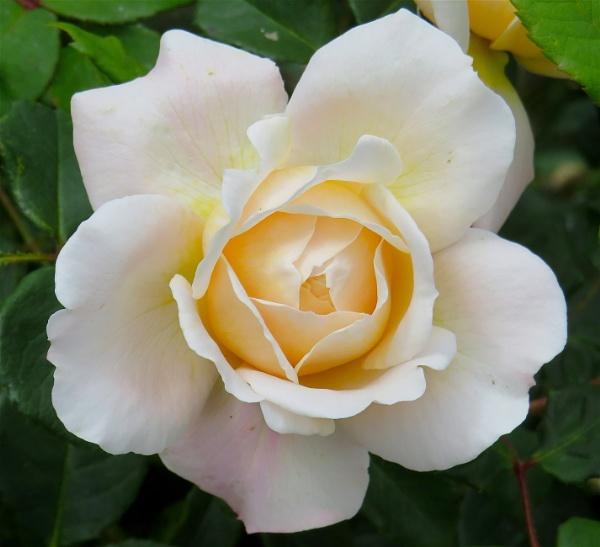 White Rose by ddolfelin