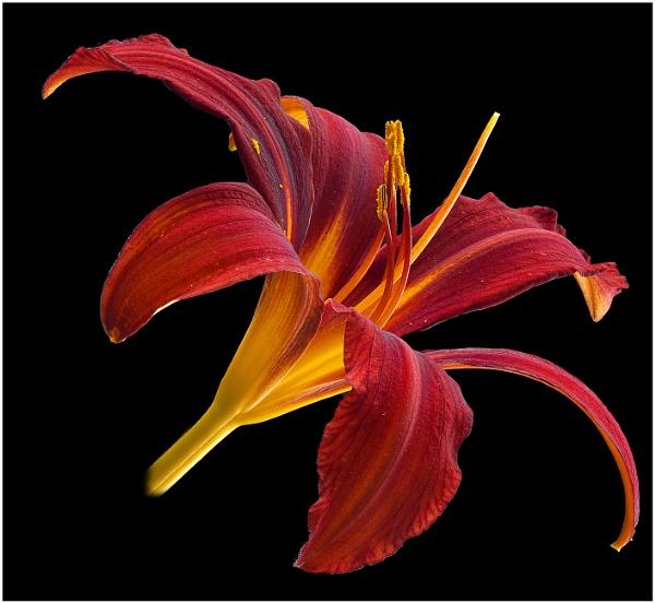 Daylily by capto