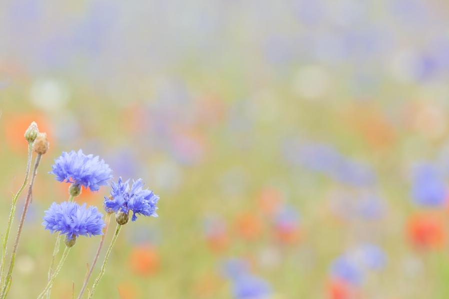 Wildflower meadow....