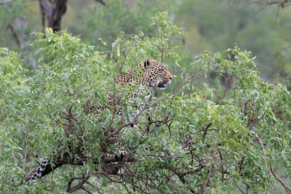Leopard by Steveo28