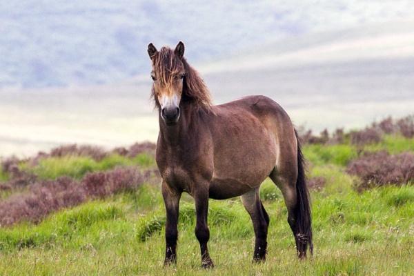 Exmoor pony. by Lencollard
