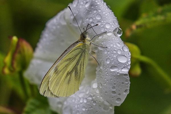 Green-veined White butterfly. by Lencollard