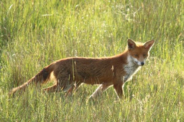 fox by chainshot