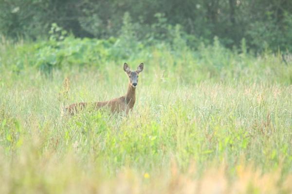 roe deer by chainshot