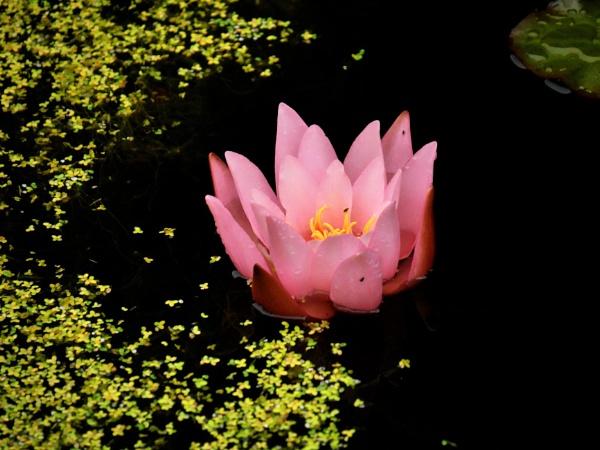 Water Lilly by Backabit