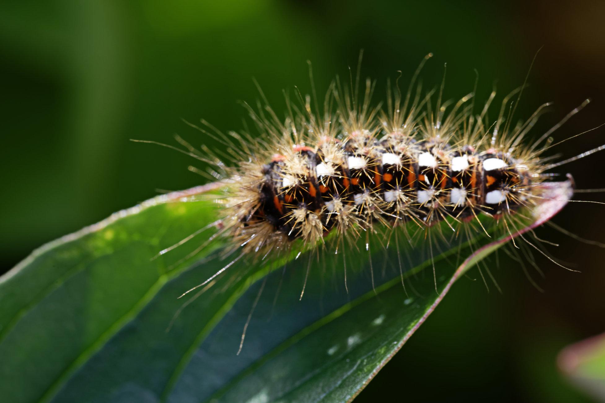 Knot Grass Moth Caterpillar.