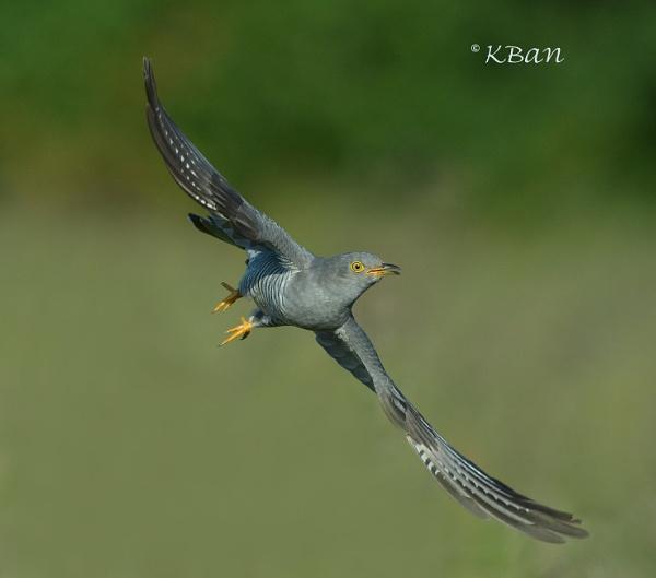 Cuckoo by KBan