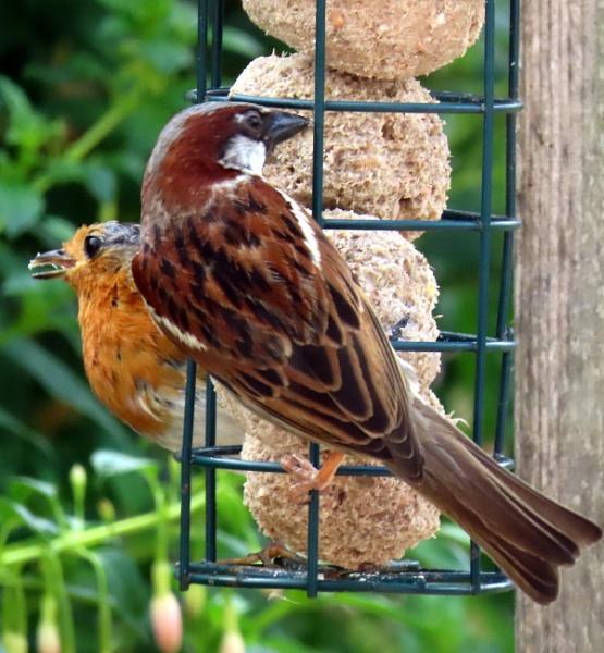 Robin Sparrow by BlueJonnyp