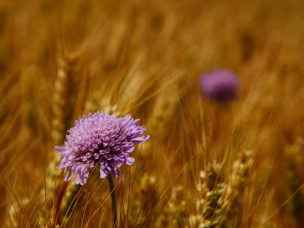 in the Herts fields by Kurczewskit