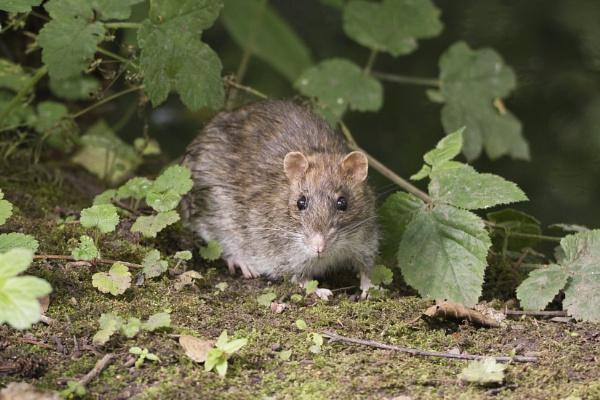 Rat at Westport Lake by PGibbings