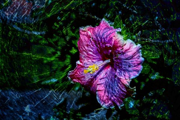 Hibiscus by Peco
